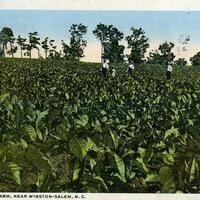 Breaking the Land: The Transformation of Tobacco Culture in the Piedmont since 1875