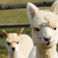 Alpaca Discovery: Basics for Children/Adults
