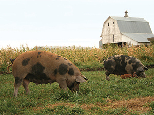 Hog Farming, Sustainability, and a Tale of Delicious Bacon
