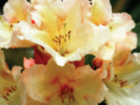 Mother's Day Rhododendron Show and Sale