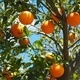 Master Gardeners: Growing Citrus Successfully