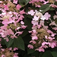 The Ever Changing and Exciting World of Hydrangeas