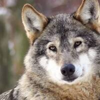 Wolves and Wild Lands in the 21st Century