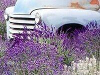 Lavender + Vintage Event