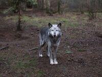 Annie Marie Musselman: Wolf Haven