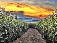 The Corn Maize at the Pumpkin Patch