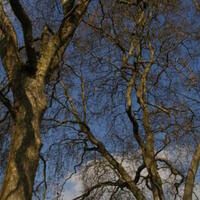 Object of the Month: Reynolda Estate's London Plane Trees