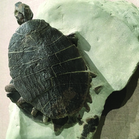 Turtles in Time: From Fossils to the Present