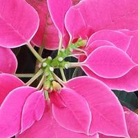 Botanic Garden Poinsettia Sale