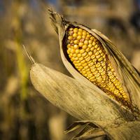 2017 Regional Corn Meeting
