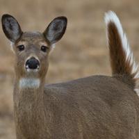 DiscoverE - Deer