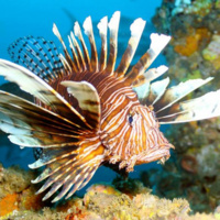 Florida's Invasive Lionfish: Be The Predator! Hanna Tillotson, FWC