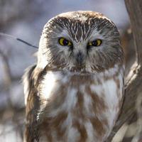 Pennsylvania Owls