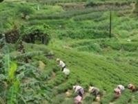 Beyond the Basics - Session 6: Green Tea