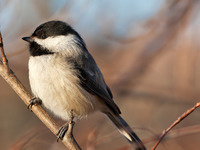 Why Do Chickadees Have Such Complex Calls?