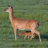 Sanctuary at Berry Lecture - George Gallagher & White-Tailed Deer