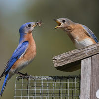 Sanctuary at Berry Lecture - Renée Carleton on Eastern Bluebirds and Berry's Nest Box Program