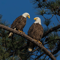 Sanctuary at Berry Lecture - Renée Carleton & Bald Eagles at Berry