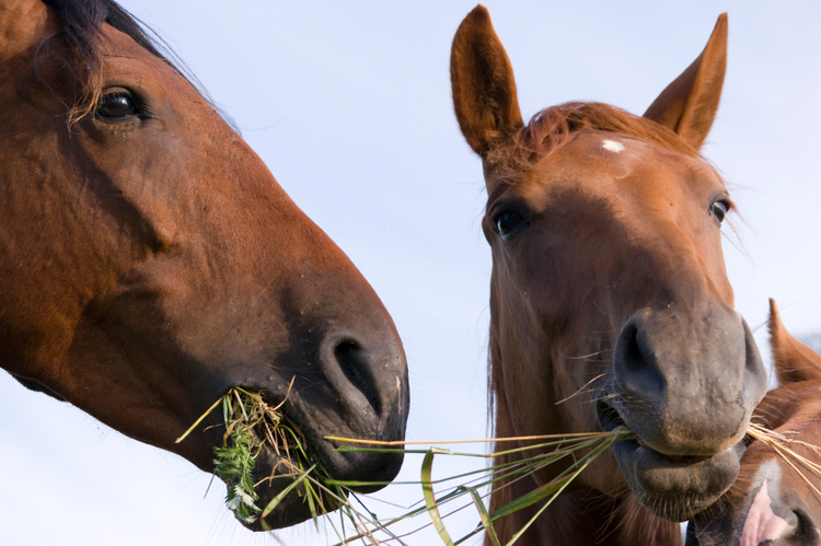 Toxic Plants of Concern for Equine Owners