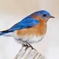 Bluebirds and Other Cavity-nesting Birds