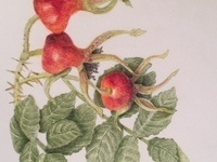 Oregon Society of Artists Botanical Art Student Exhibit