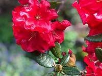 Mother's Day Rhododendron Show & Sale