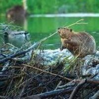 Film in the Forest: Beavers