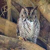 Poolside Powwow- Owls