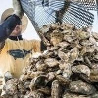 Oyster & Aquaculture Tours
