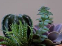 Lunch and Learn with Clemson Extension: Kerrie Roach, Successful Indoor Succulents