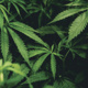 Science Pub: Marijuana as Medicine