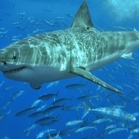 Science Sunday: The Secret Lives of California Great White Sharks