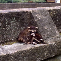 Little Raccoons: Children's Walk