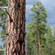 The Natural History of the Ponderosa Pine