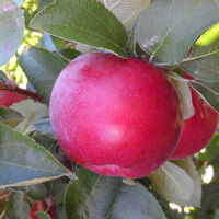 Apple Picking at Apple Ridge Orchards