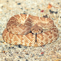 Wild Coachella Lecture Series: Everything You Wanted to Know About Rattlesnakes