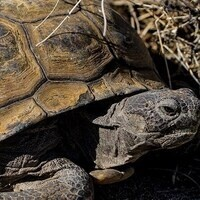 Wild Coachella Lecture Series: Finding a Balance; Managing Desert Tortoises and Tanks