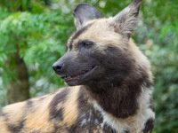 Pub Talk: Protecting Endangered Painted Dogs
