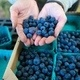 Growing Organic Blueberries in the Home Garden and Small Farm