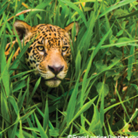 Land of the Jaguars: Wild Wetlands of South America