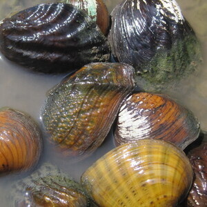 Knox County Mussels and Snails: The Good, the Bad, and the Gone