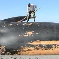HMSC Science on Tap: Marine Mammals Ashore - Quantifying and Interpreting Stranding Events