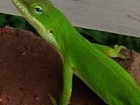"""BioSci Seminar - Doug Menke, """"Anolis Lizards for Studies of Gene Function in Development and Evolution"""""""