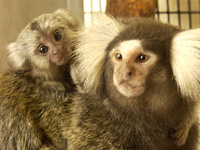 "BioSci Seminar - Suzette Tardif, ""Marmosets as Monkey and Models: Research at the Interface"