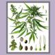 Talk: Cannabis and Your Health