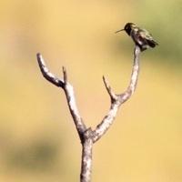 Hummingbird Presentation at Placerita Canyon Nature Center