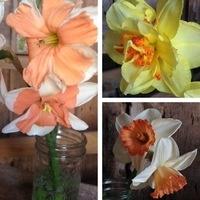 Daffodil Day & Spring Celebration